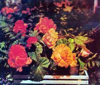 Цветы клубневой бегонии