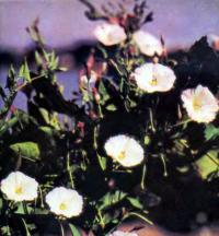 Цветы вьюнка