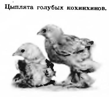 Цыплята голубых кохинхинов