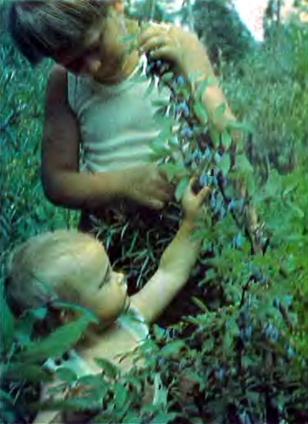 Дети собирают жимолость