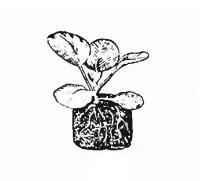 Доброкачественная рассада ранней капусты