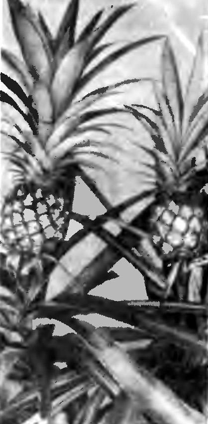 Домашние ананасы
