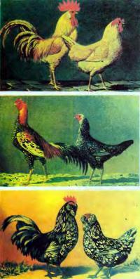 Другие породы разноцветных кур