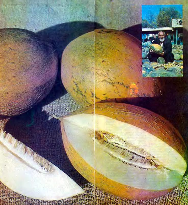Дыня Гуляби оранжевая