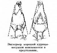Экстерьер хорошей курицы-несушки