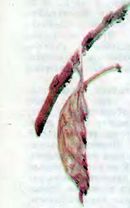 Гнездо гусениц боярышницы