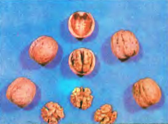 Грецкий орех сорта Юбилейный