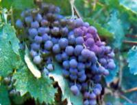 Гроздь винограда Фиолетовый ранний
