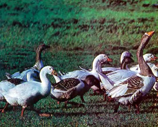 Группа тульских гусей