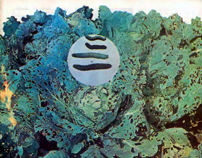 Гусеницы капустной совки и поврежденная ими капуста