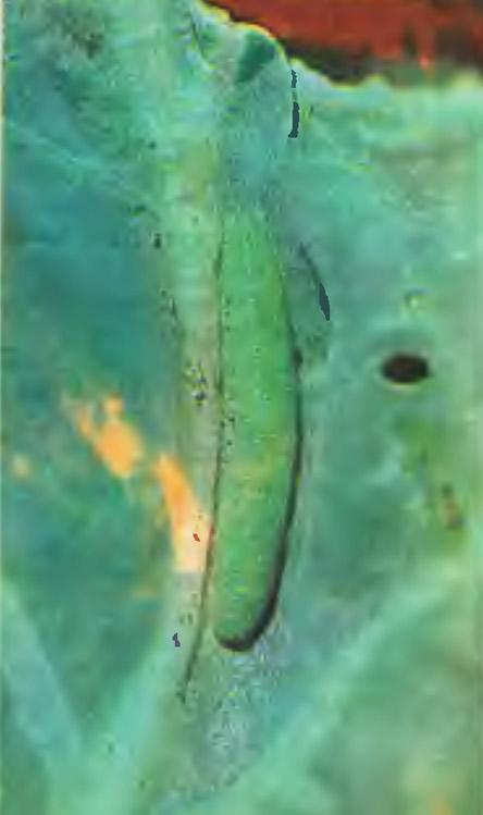 Гусеницы репной белянки
