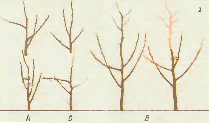 Исправление кроны саженца. Способы усиления и ослабления роста ветвей