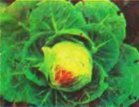 Виды капусты и советы по ее выращиванию
