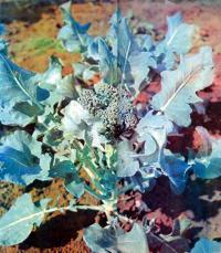 Основы выращивания цветной капусты