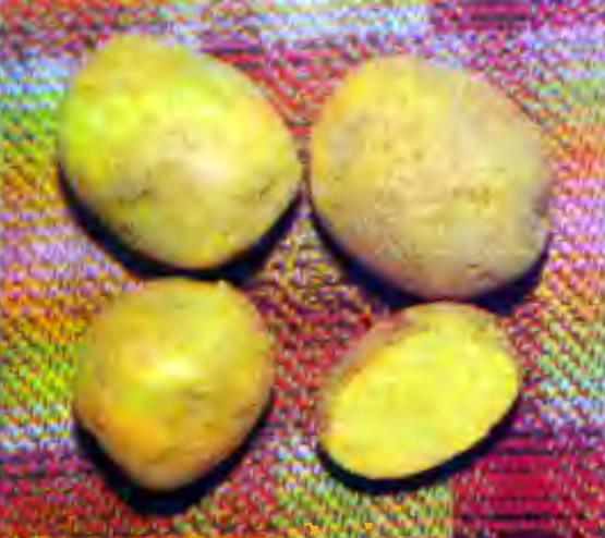 Картофель Адретта от клубневой посадки