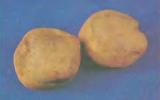 Картофель Садко