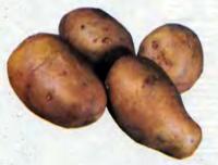 Картофель сорта Пригожий 2