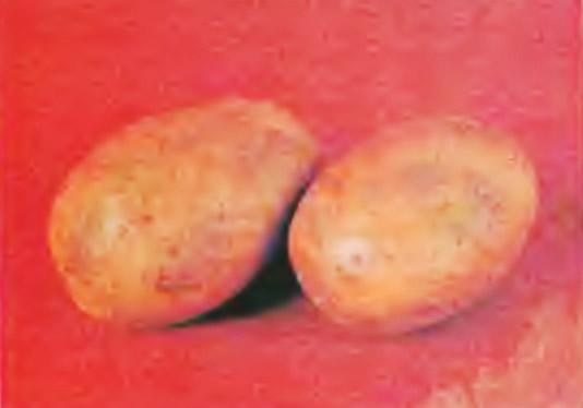 Картофель сорта Пригожий