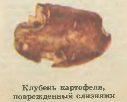 Клубень картофеля, поврежденный слизнями