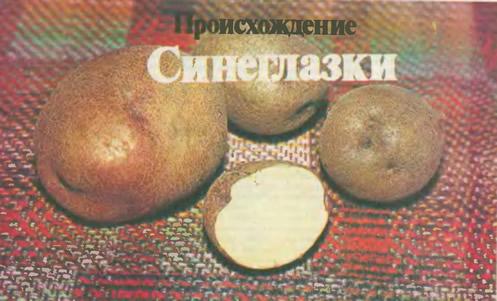 Клубни картофеля Синеглазка