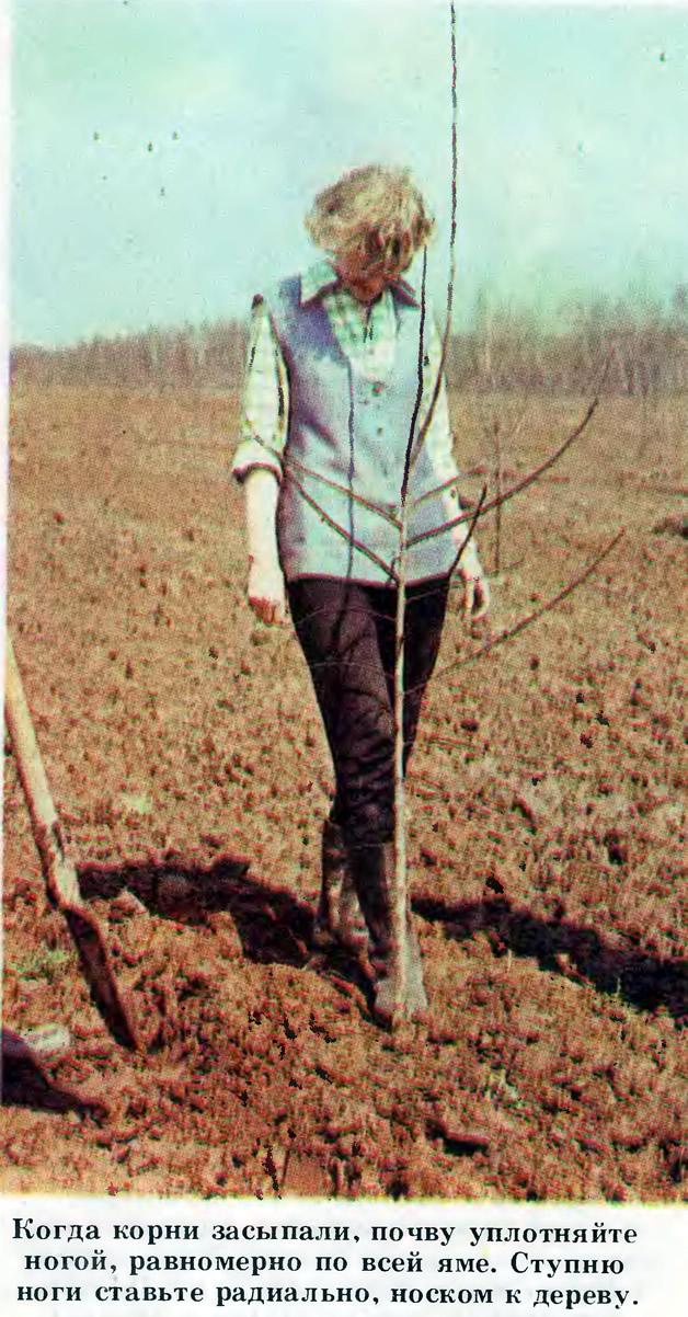 Когда корни засыпали, почву уплотняйте ногой равномерно по всей яме