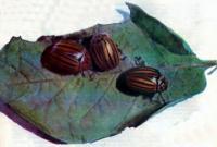 Колорадские жуки на листе