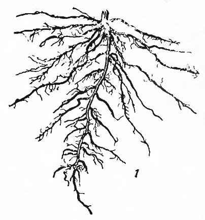 Корневая система 26-дневной рассады помидоров выращеных в грунте парника