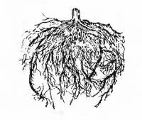 Корневая система 26-дневной рассады помидоров выращеных в питательном кубике