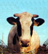 Корова будет благодарна