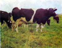 Знаменитая черно-пестрая порода коров