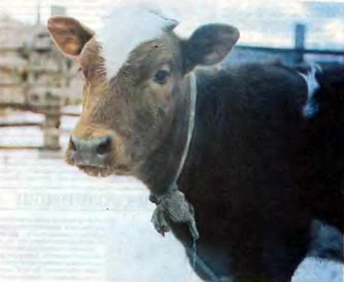 Корова на прогулке зимой