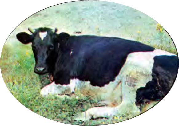 Корова-рекордистка