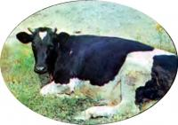Уход за высокоудойной коровой