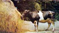 Корова-ведерница Марины Илларионовны