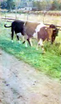 Коровы идут домой в стойло
