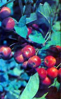 Красные яблоки на дереве