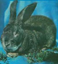 Вопросы и ответы о кролиководстве