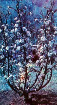Необычные кроны плодовых деревьев