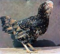 Курица орловской породы (ситцевой расцветки)