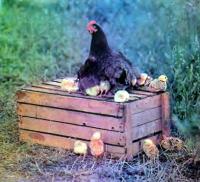 Курица с циплятами