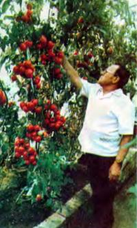 Кусты-лианы помидоров