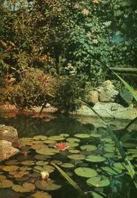 Лилии в самодельном пруду