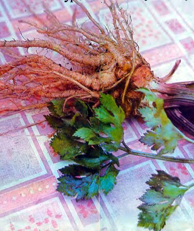 Листья и корни сельдерея
