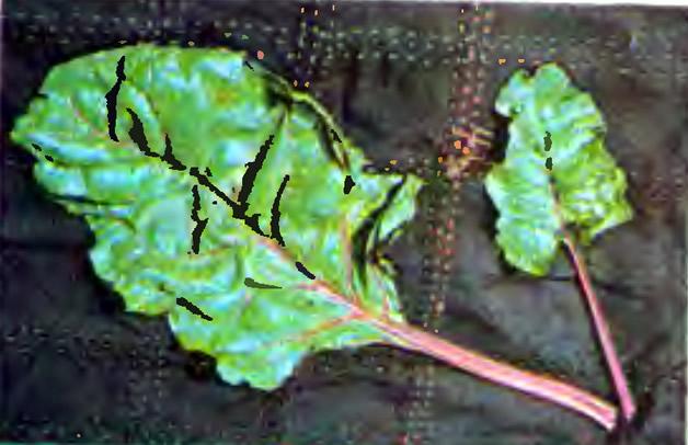 Листья мангольда