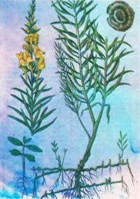 Льнянка обыкновенная — огонек-трава