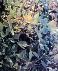 Любисток — горный сельдерей