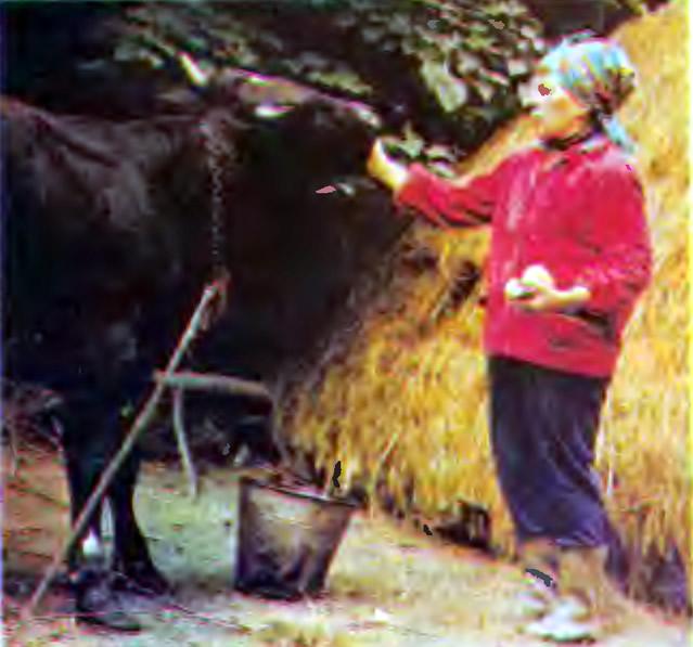 М. И. Егодова с выращенным ею бычком