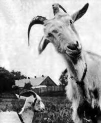 Как приобрести хорошую молочную козу