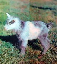 Молодой козленок