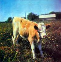 Выращивание молодняка коров в холодный период